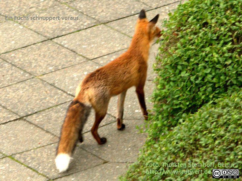 Ein Fuchs morgens am Michael-Bohnen-Ring, Berlin