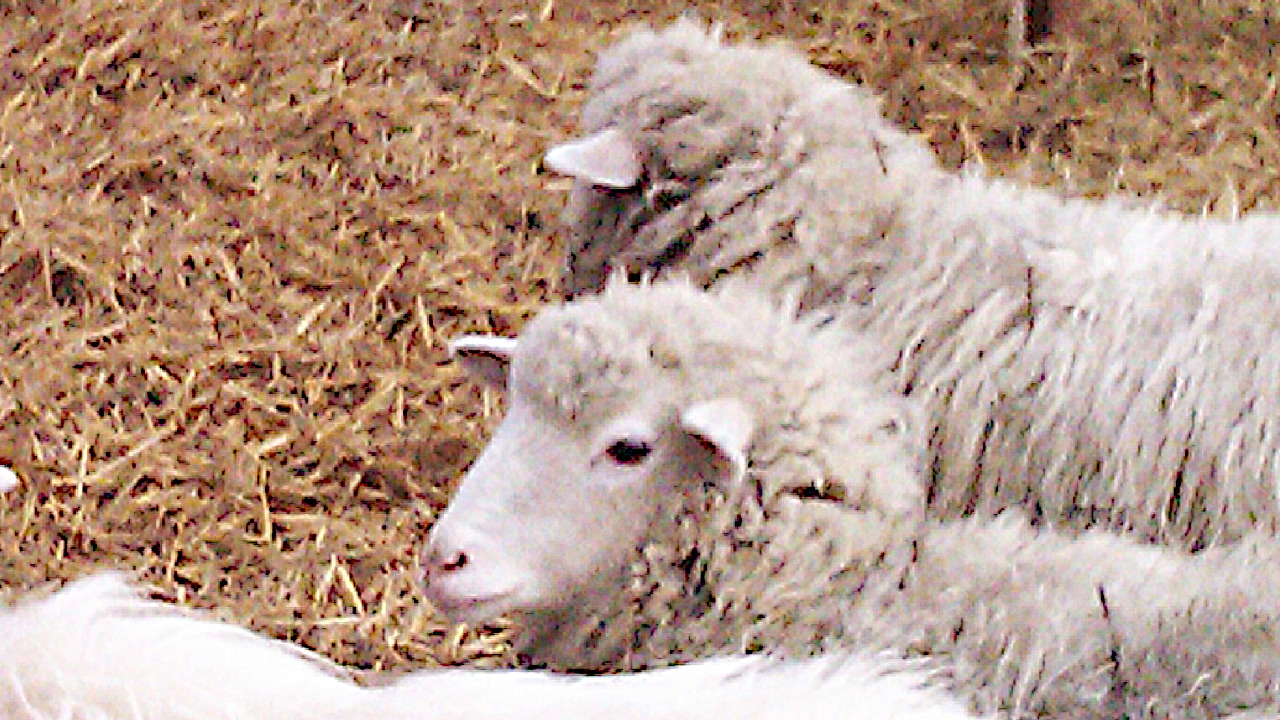 Junge Schafe in Regensburg 2011