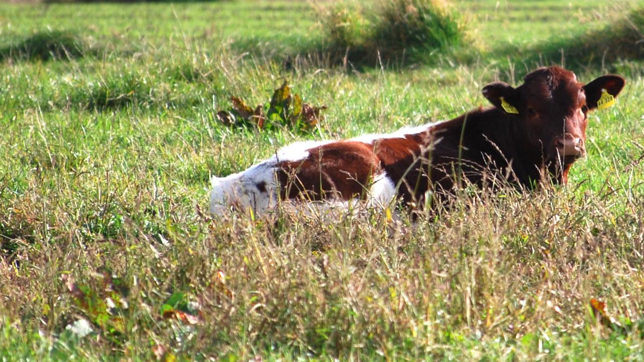 Oberbayerisches Kälbchen, liegend im Gras